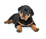 Rottweiler Puppy. With her head tilted and a loving look on her face, on a white background Stock Photo