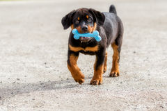Rottweiler Puppy Holding A Blue Rubber Bone. Portrait Of Rottweiler Puppy Holding A Blue Rubber Bone In Mouth Royalty Free Stock Images