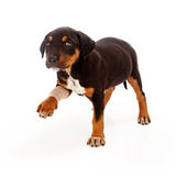 Rottweiler Puppy Injured Paw. A Rottweiler mixed breed puppy with an injured leg extending his paw and looking at teh camera with a sad face Stock Photography
