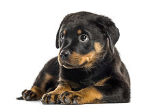 Rottweiler puppy isolated on white Royalty Free Stock Photography