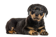Rottweiler puppy isolated on white. Rottweiler puppy lying down, isolated on white Royalty Free Stock Photos