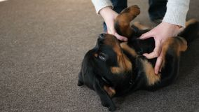 The Rottweiler puppy lies on his back and luxuriates stock footage