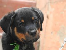 Rottweiler puppy looks like a good. Rottweiler puppy looks good royalty free stock photography