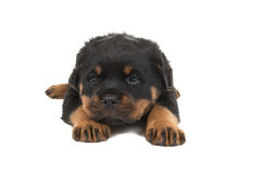 Rottweiler puppy lying down Royalty Free Stock Image