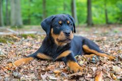 Free Rottweiler Puppy Lying In Beech Forest Stock Photo - 128317760