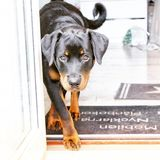 Working dog the rottweiler puppy. Rottweiler puppy 6 month old with courious eyes and wants to play in the sun royalty free stock image