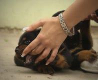 Rottweiler puppy Stock Image