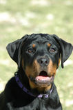 Rottweiler puppy portrait. A beautiful black Rottweiler puppy dog head portrait with open mouth and cute expression in the face watching other dogs in the park Stock Image