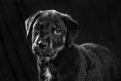 Rottweiler puppy portrait in black and white Stock Photography
