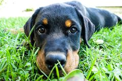 Rottweiler puppy portrait outdoors stock photography