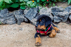Rottweiler Puppy Posing Royalty Free Stock Images