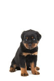 Rottweiler puppy remorseful. Rottweiler puppy looking like he is sorry isolated on a white background Royalty Free Stock Photos