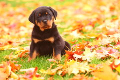 Rottweiler Puppy Sitting in Autumn Leaves. A handsome, sturdy Rottweiler puppy sits alert in Autumn leaves Royalty Free Stock Image
