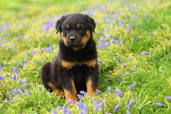 Rottweiler Puppy Sitting in Colorful Flowers. A handsome Rottweiler puppy sits in the middle of some wild growing flowers Royalty Free Stock Image