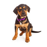 Rottweiler Puppy Sitting. Rottweiler puppy wearing a purple collar and blank tag sitting against a white background Stock Image