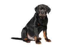 Rottweiler puppy on white background. Adorable Rottweiler puppy on white background Stock Photo