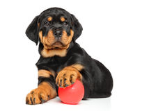 Rottweiler puppy on white. Rottweiler puppy lying down with a ball on white background Royalty Free Stock Images