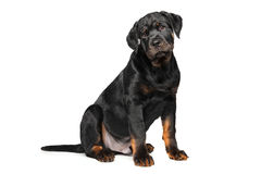 Rottweiler puppy on white. Purebred Rottweiler puppy sits in front of white background Stock Image