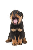 Rottweiler puppy yawning. Sitting Rottweiler puppy yawning at a white background Stock Image