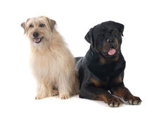 Rottweiler and pyrenean shepherd Royalty Free Stock Image