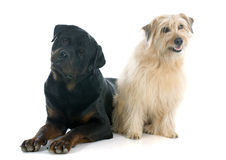 Rottweiler and pyrenean shepherd Royalty Free Stock Photography