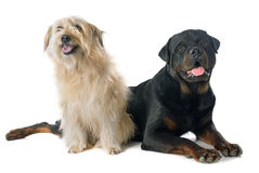 Rottweiler and pyrenean shepherd Stock Image