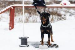 Rottweiler que espera o proprietário, na rua fotografia de stock royalty free