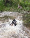 Rottweiler que juega en el agua Imagen de archivo libre de regalías