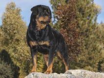 Rottweiler que se coloca presentado en un Boulder de mármol fotografía de archivo