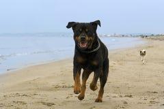 Rottweiler que se ejecuta en la playa Imágenes de archivo libres de regalías