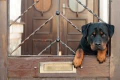 Rottweiler que se sienta en la puerta Fotografía de archivo