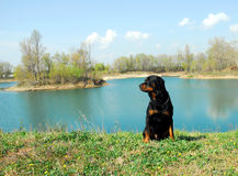 Rottweiler and river. Beautiful portrait of purebred rottweiler: cute watchin dog and blue lake Royalty Free Stock Image