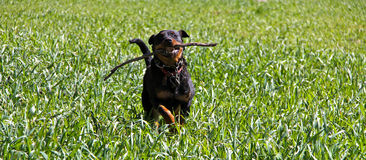 Rottweiler Running Royalty Free Stock Photos