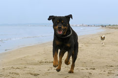 Rottweiler running on the beach Royalty Free Stock Images