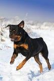 The Rottweiler runs Stock Photo