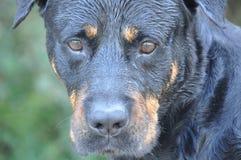 Rottweiler sério do cão Fotos de Stock