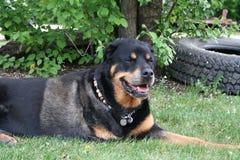 Rottweiler s'étendant sur l'herbe Image stock