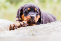 Rottweiler Sad Puppy Resting. Rottweiler Puppy Two Months Resting On A Rock Stock Images