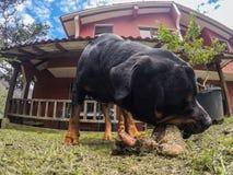 Rottweiler samiec pies Żuć Dużą kość zdjęcie royalty free