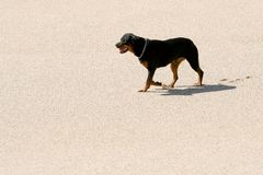 Rottweiler. A beautiful rottweiler alone on the sand Royalty Free Stock Photography