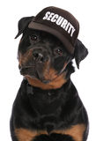 Rottweiler security Royalty Free Stock Photos