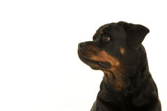 Rottweiler seen from the side portrait Stock Photography
