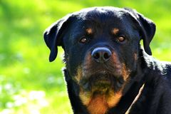 Rottweiler serious face. With sunny weather Royalty Free Stock Photography