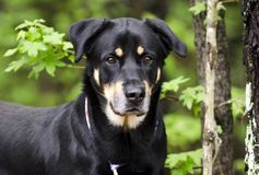 Rottweiler Shepherd mixed breed dog, pet rescue adoption photography royalty free stock photography
