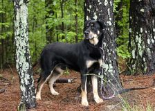 Rottweiler Shepherd mixed breed dog standing in trees on leash, pet rescue adoption photography stock photo