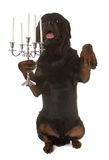 Rottweiler and silver candelabrum. In front of white background Stock Image