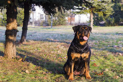 Rottweiler sit and look at sunset Stock Photography