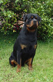 Rottweiler sitting. Pure breed rottweiler royalty free stock image