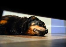 Rottweiler sleeping on floor royalty free stock photo