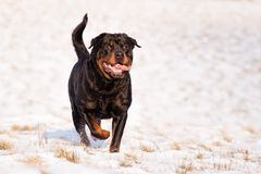 Rottweiler in sneeuw stock foto